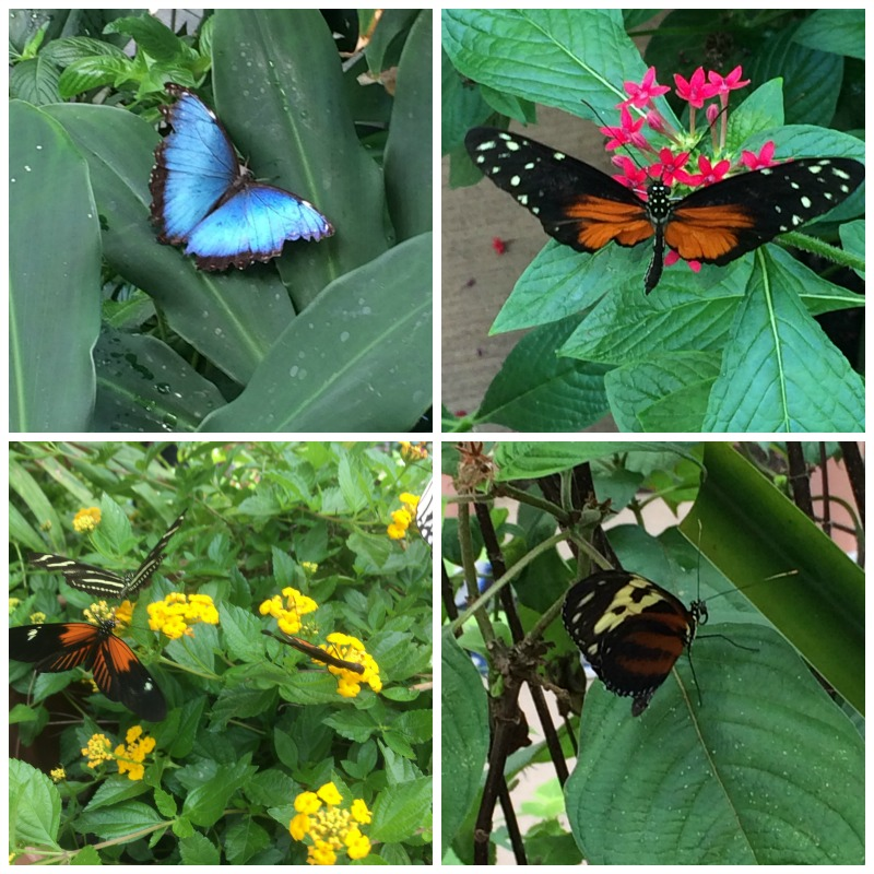 The Butterfly Atrium at the Hershey Gardens is open year round so plan a visit soon!